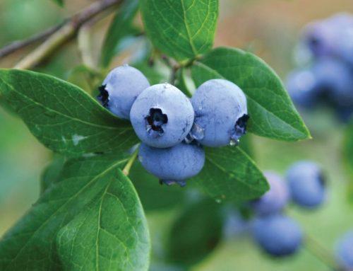 Blueberry Growers Defend Biodiversity