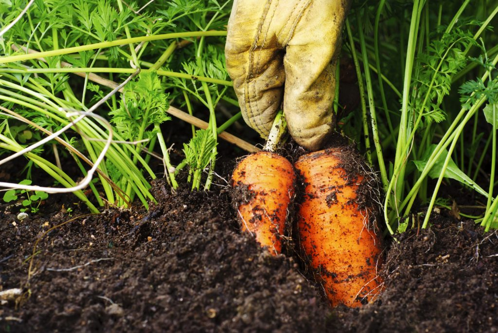Carrots being pulled from soil