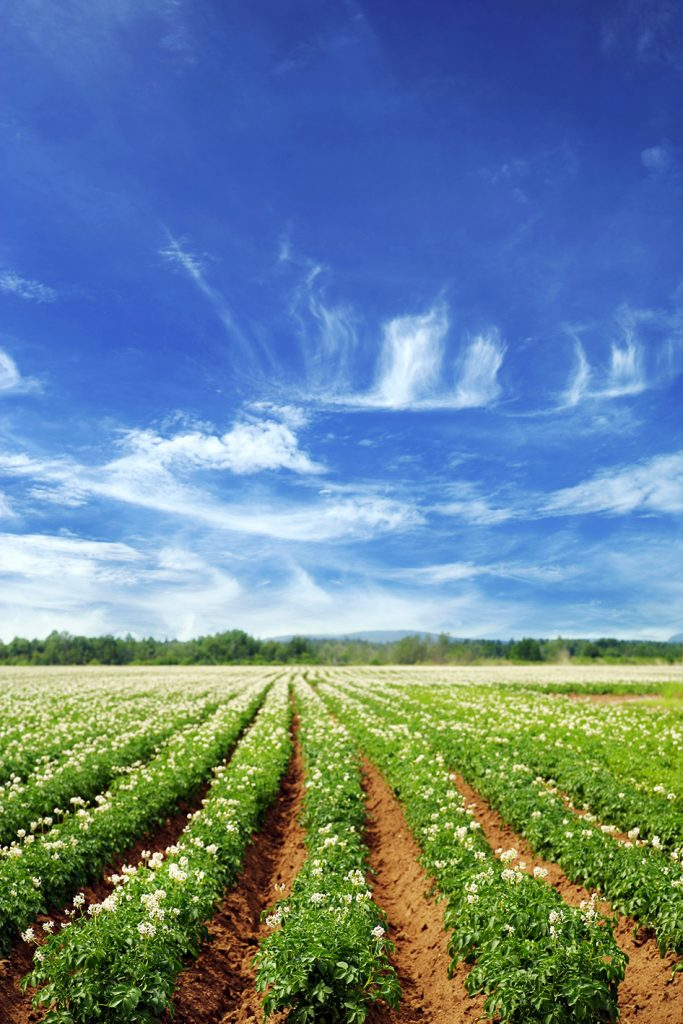 Field of crops with a beautiful blue sky