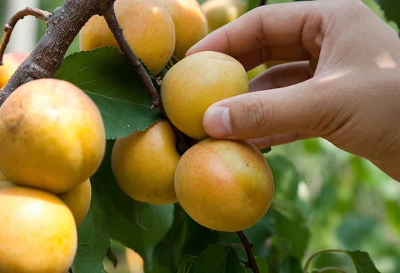 Hand picking fruit